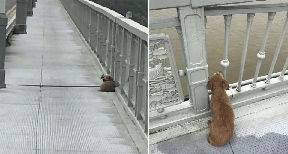 Perro esperando puente