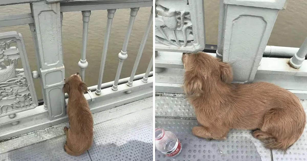 Perro fiel espera dueño puente suicido