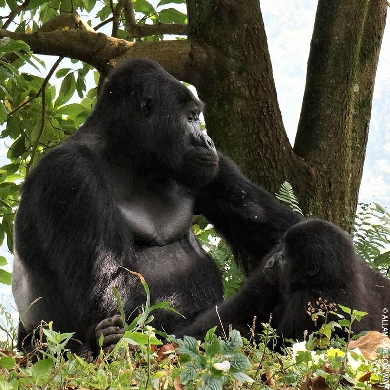 Rafiki famoso gorila