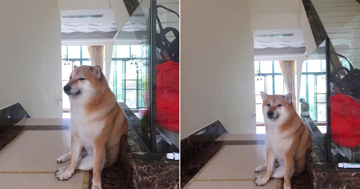 Balltze, el perro Shiba inu estrella de tus memes