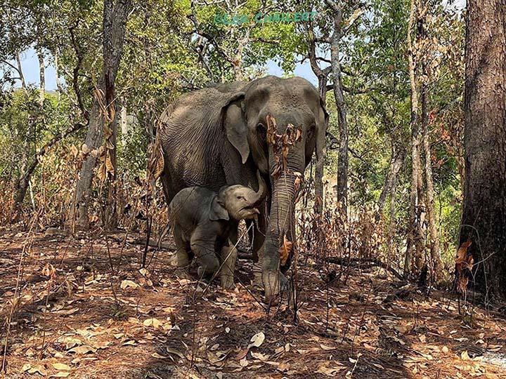 Cientos de elefantes mueren