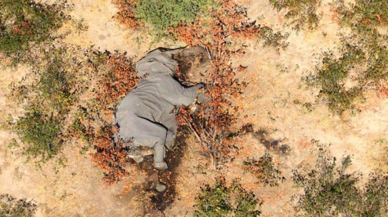 Cientos de elefantes fueron encontrados muertos en Botswana