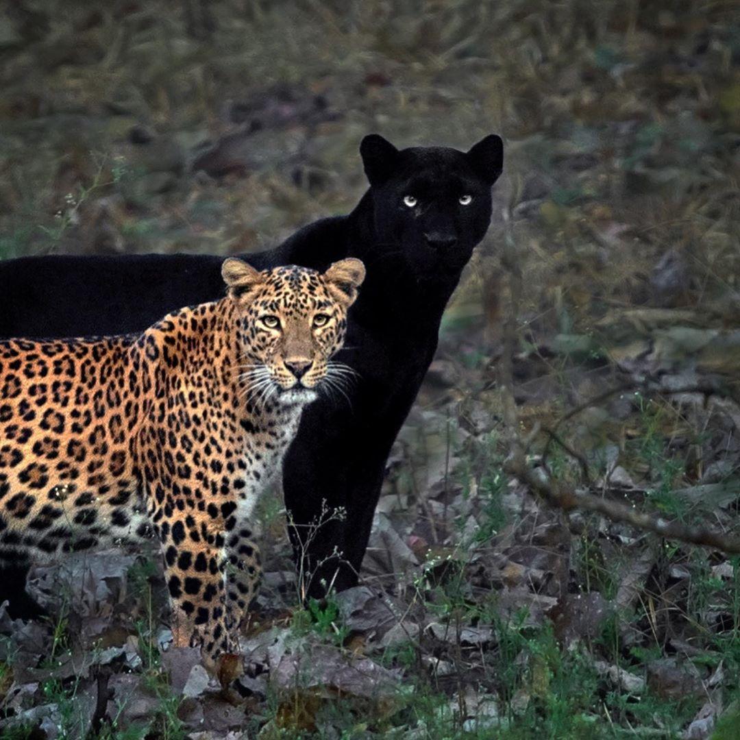 Leopardo y pantera pareja