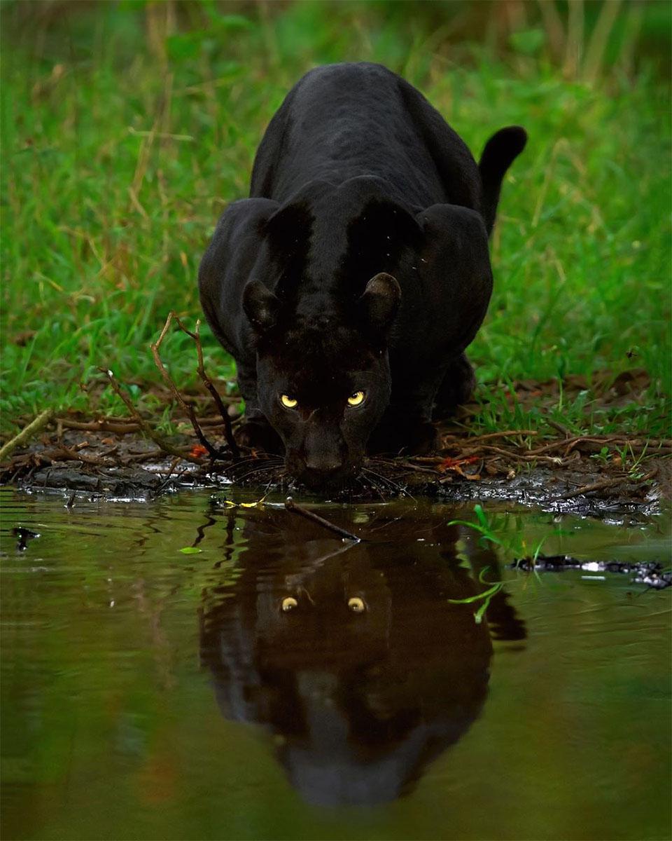 Pantera tomando agua