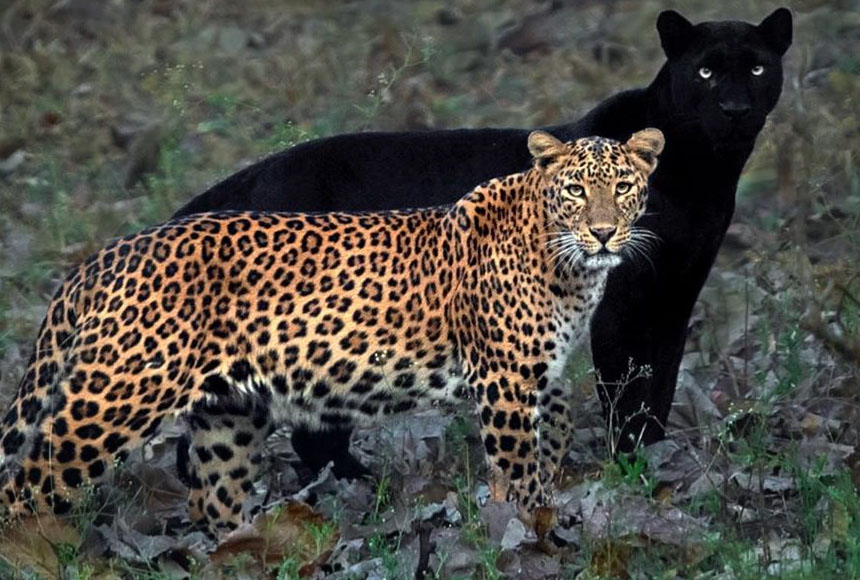 Pareja leopardo y pantera