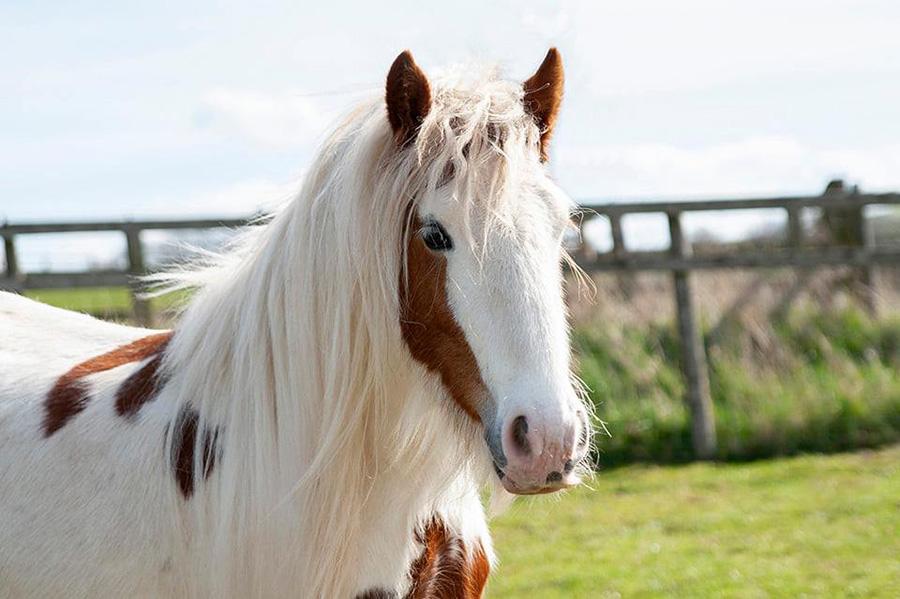 caballo recuperado