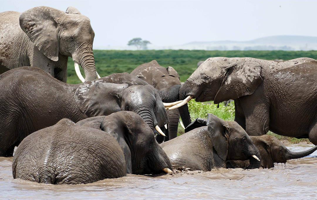 Elefantes nadando