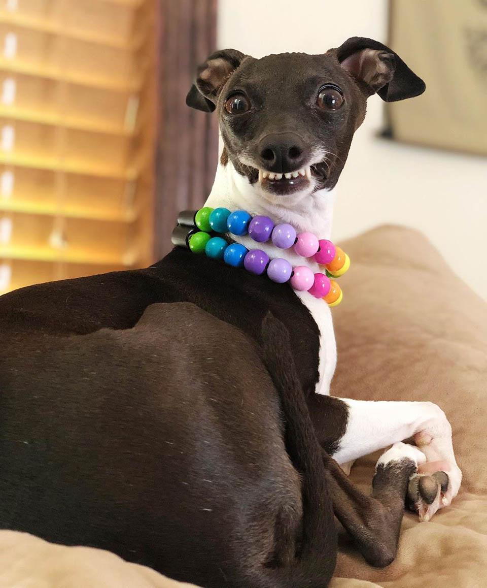 Galgo sonriendo ayuda a mujer con enfermedad cronica