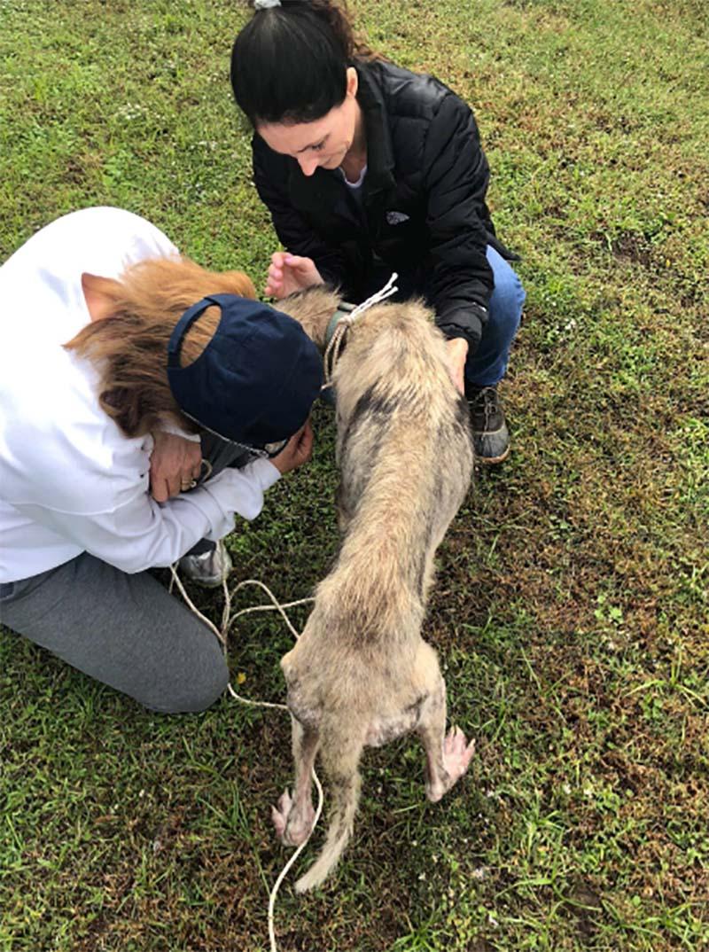 Husky descuidado rescatado