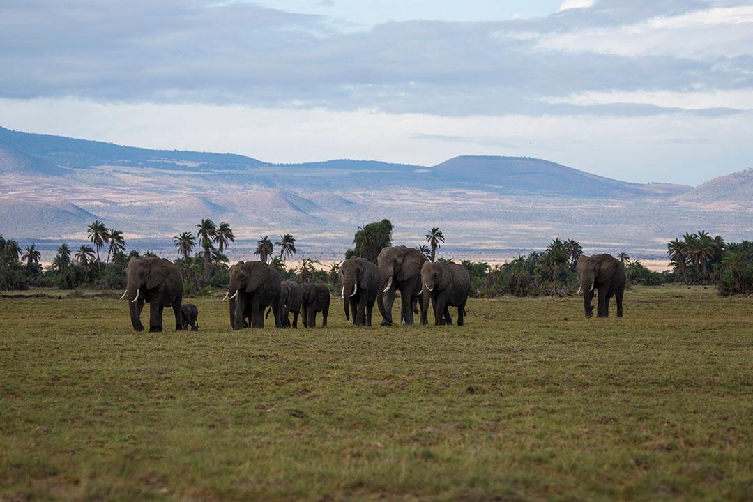 Kenia Población de elefantes