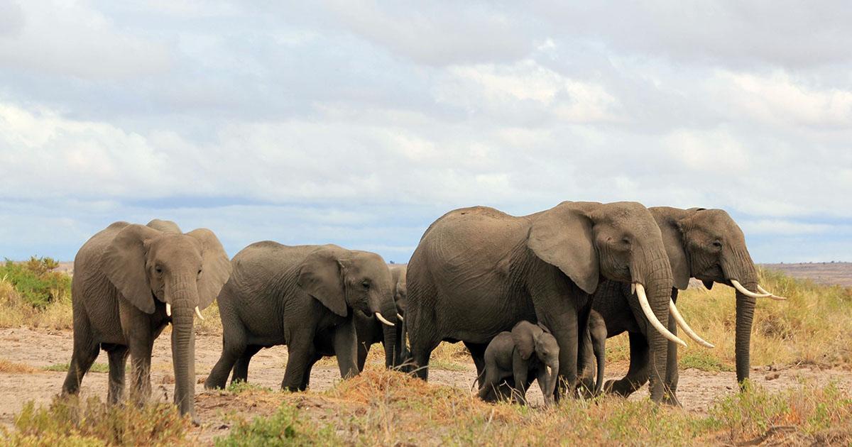 La población de elefantes en Kenia se ha duplicado