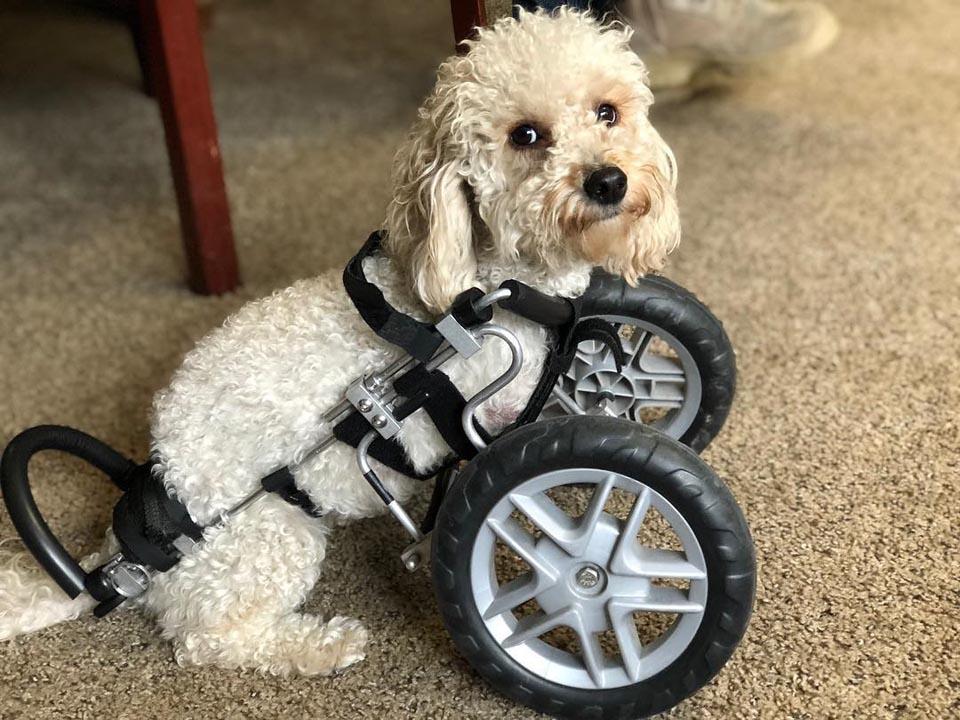 Perrita en silla de ruedas