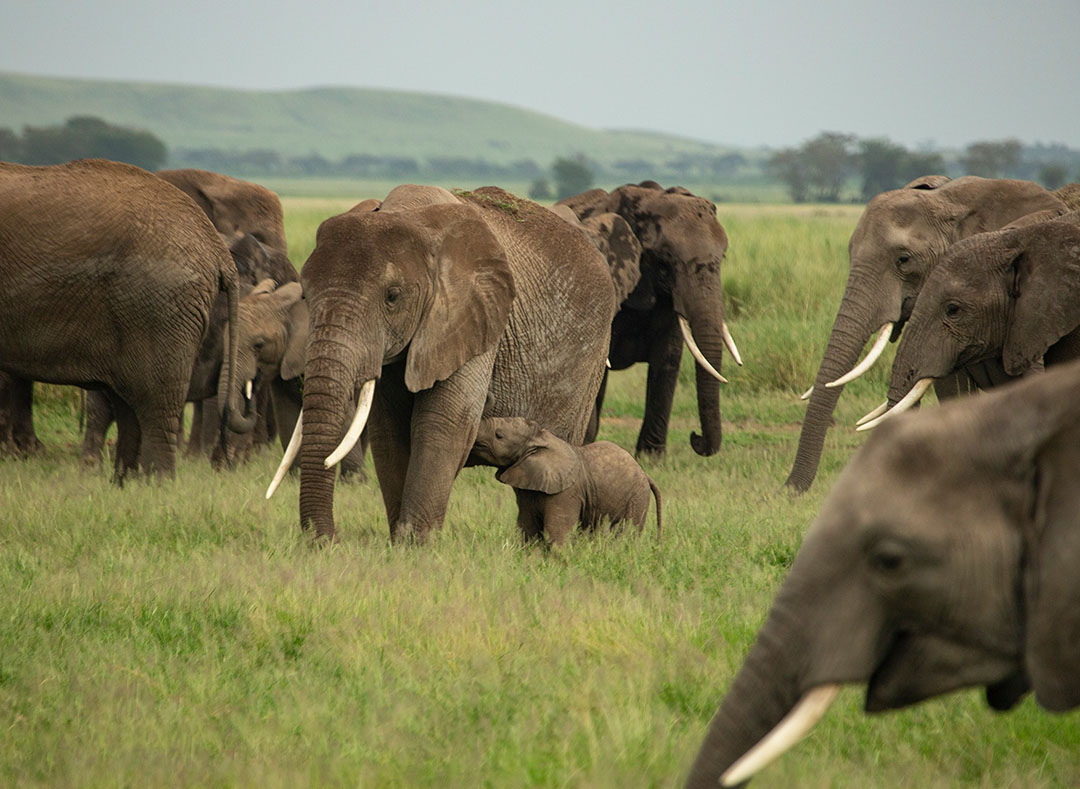 Población de elefantes