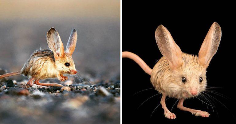 Animalito que parece mezcla de ratón, conejo, cerdo y canguro, es en verdad adorable
