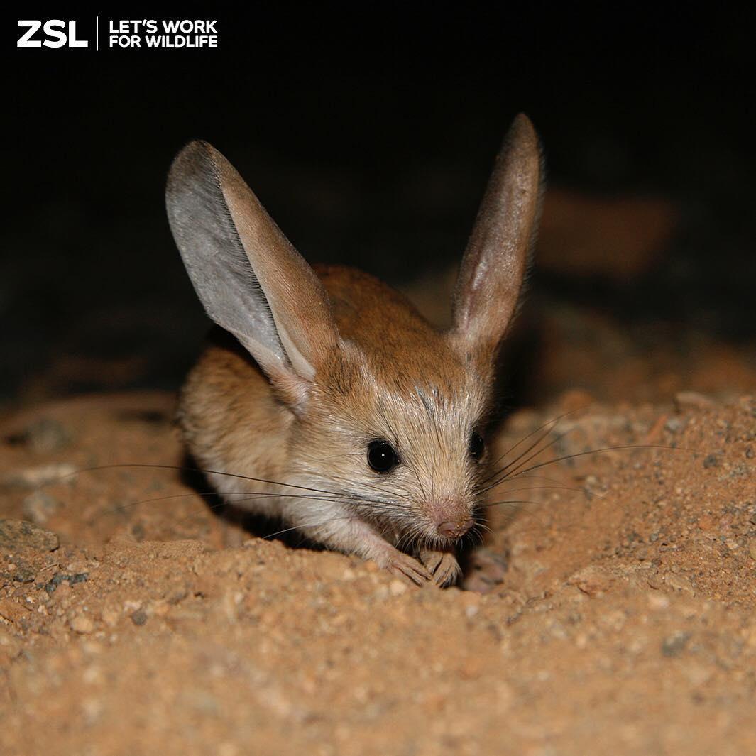 Animalito que parece mezcla de ratón, conejo, cerdo y canguro