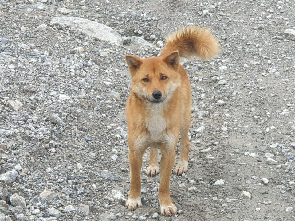 Antigua raza perro de la montaña