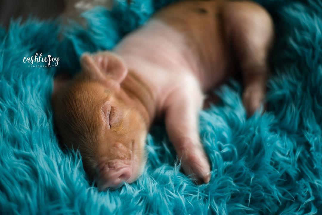Cerdo adorable
