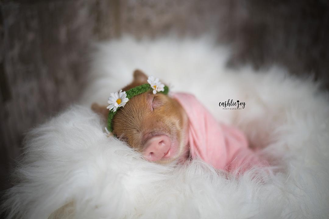 Cerdo durmiendo