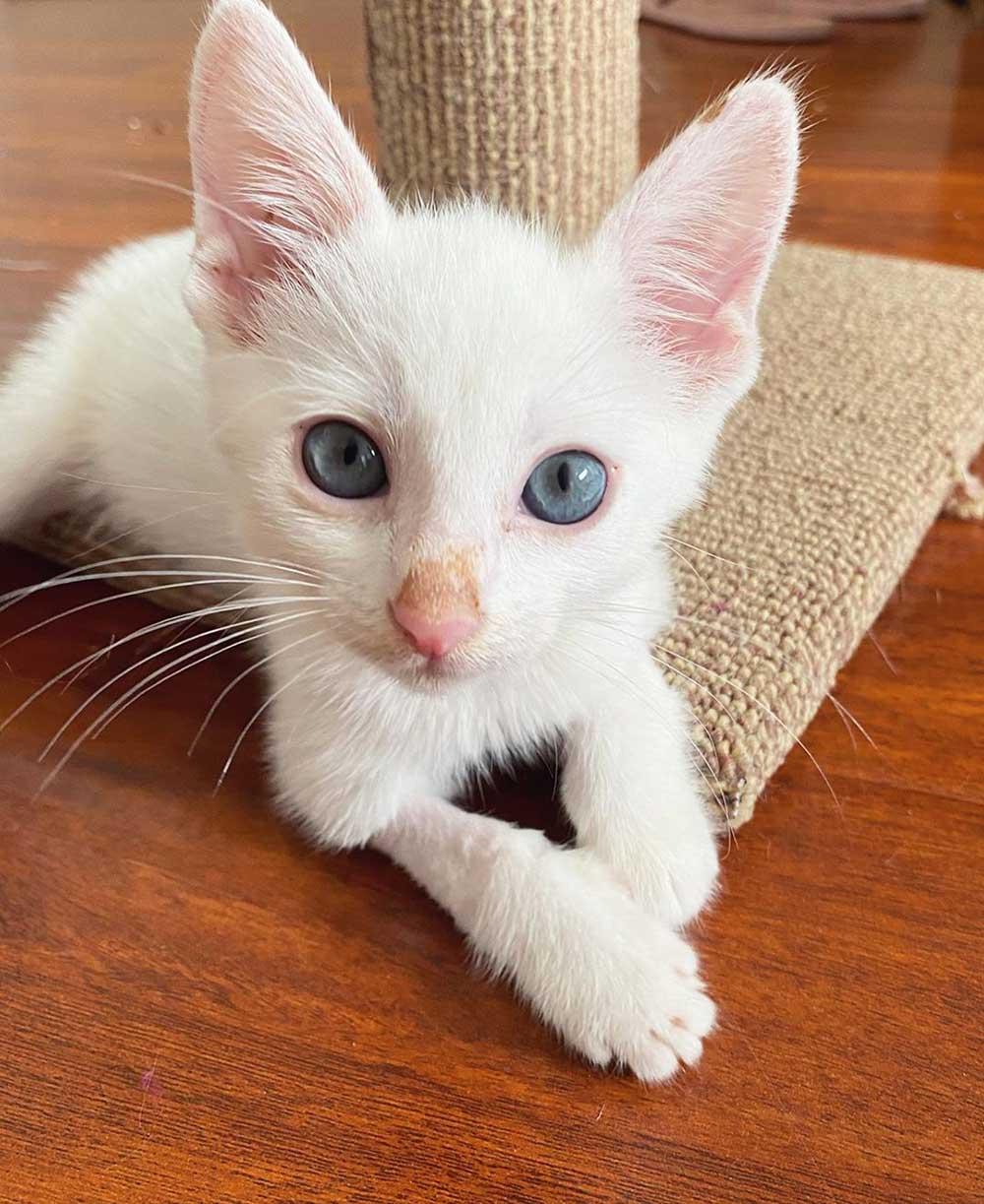 Felino de ojos azules