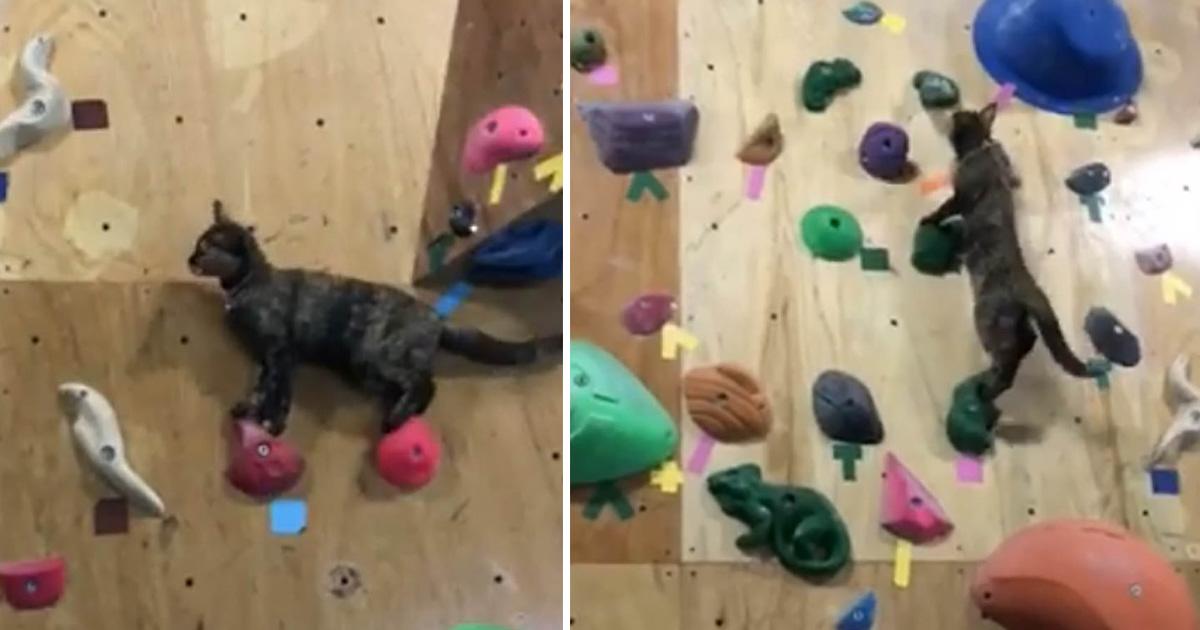 Gato que 'trabaja' en un gimnasio de escalada lo intenta y se vuelve viral