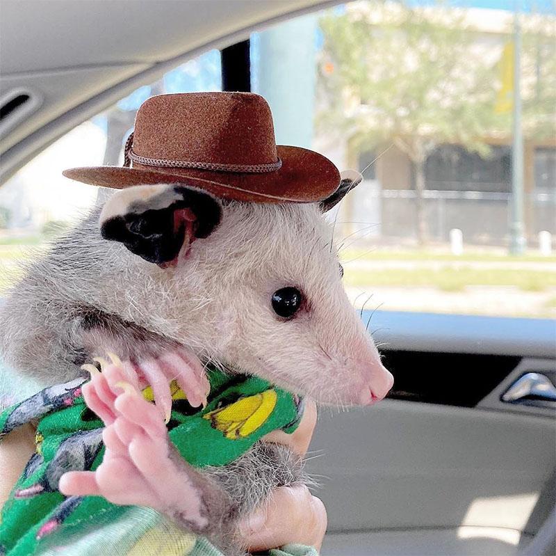 Marsupial con sombrero