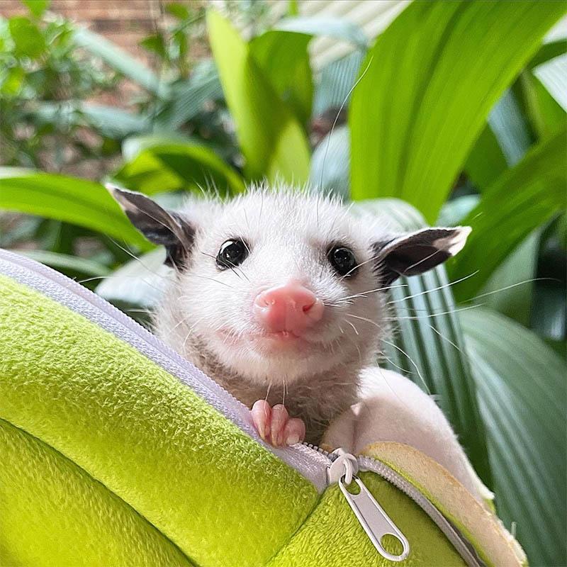 Marsupial en maletín