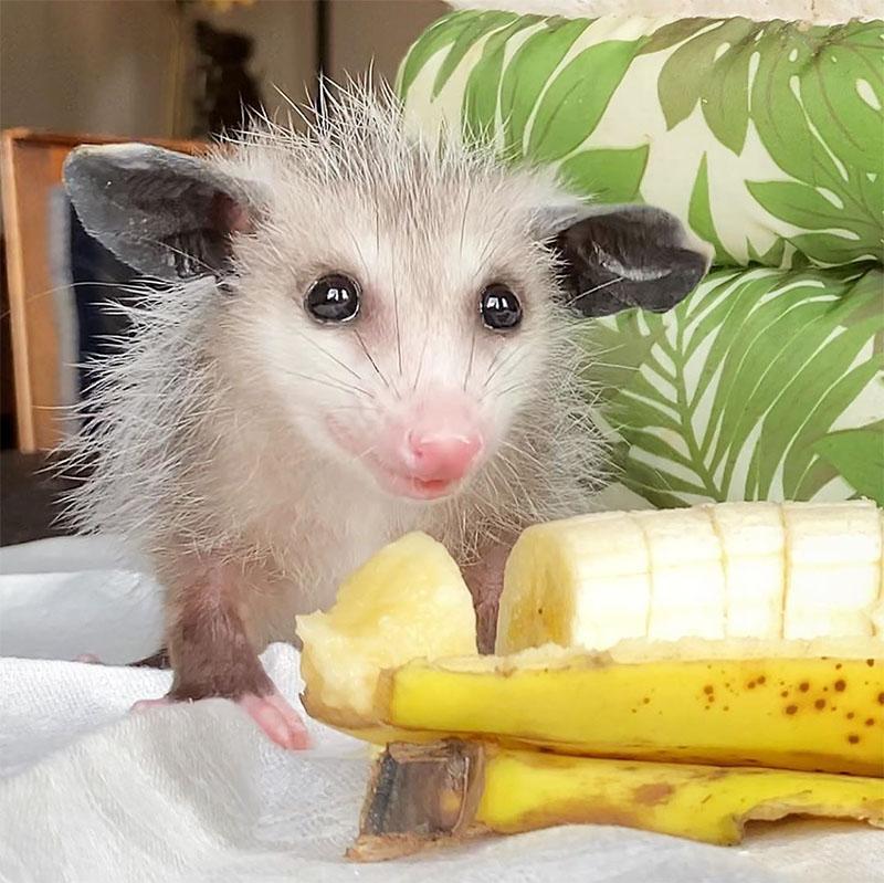 Marsupial comiendo banano