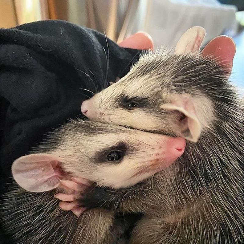 Marsupiales abrazándose
