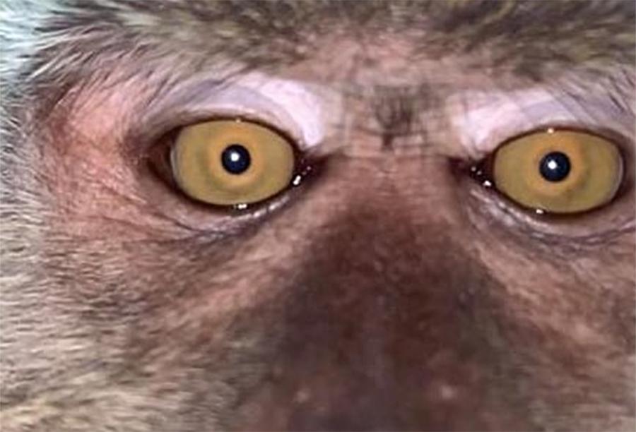 Mono ladrón
