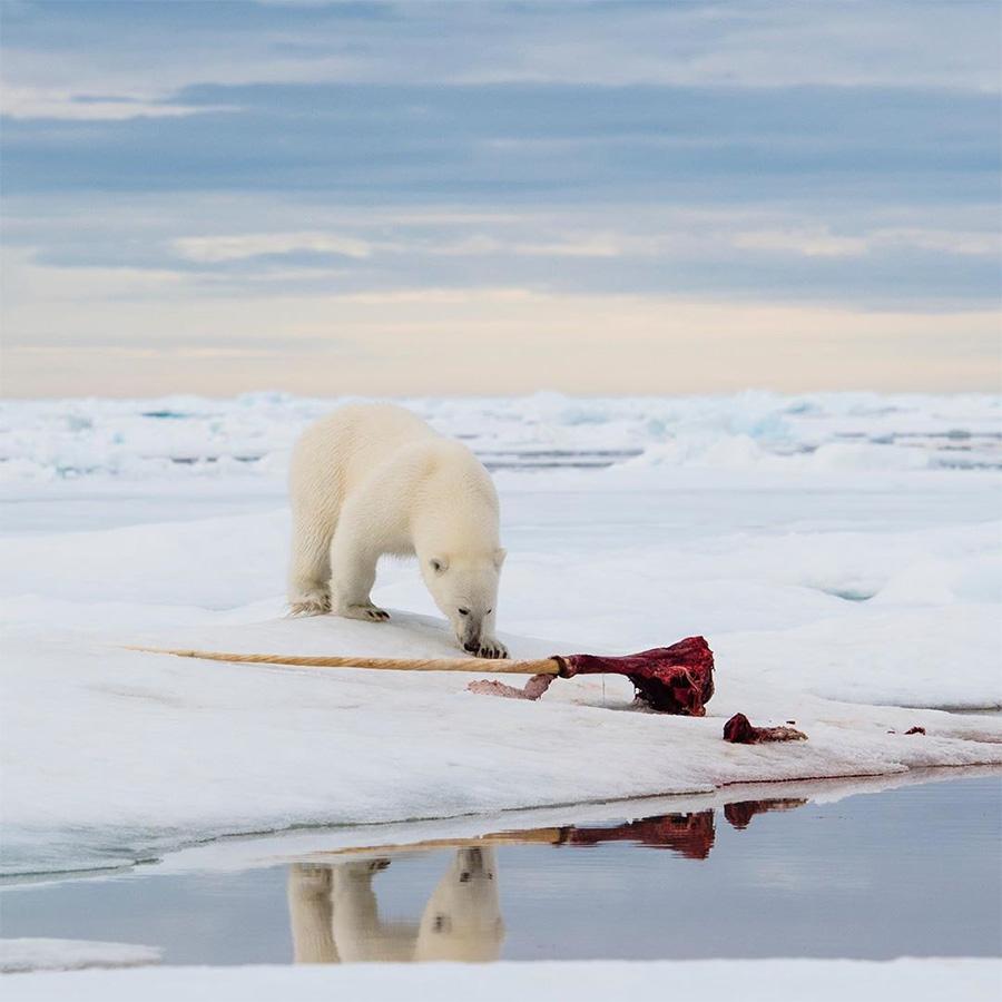 Oso polar curioso