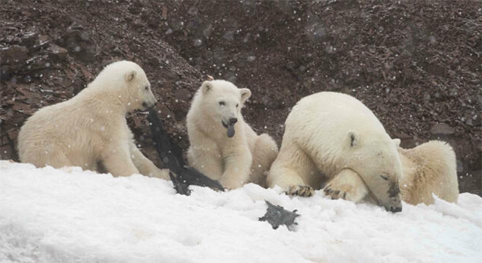 Osos polares Hambrientos juegan