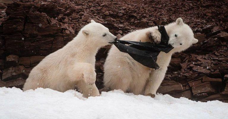 Pequeños osos polares hambrientos mastican una bolsa de plástico