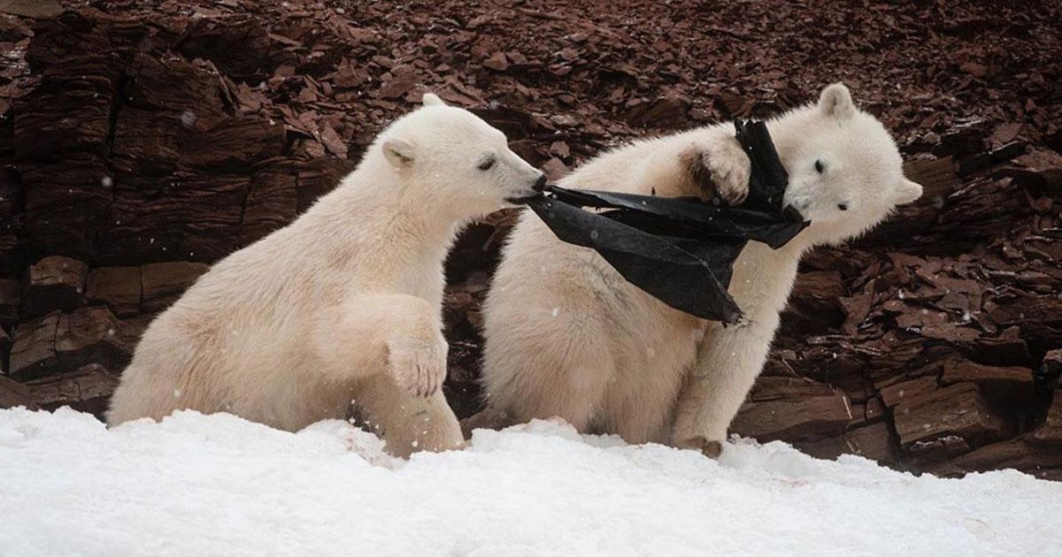 Osos polares hambrientos mastican plástico