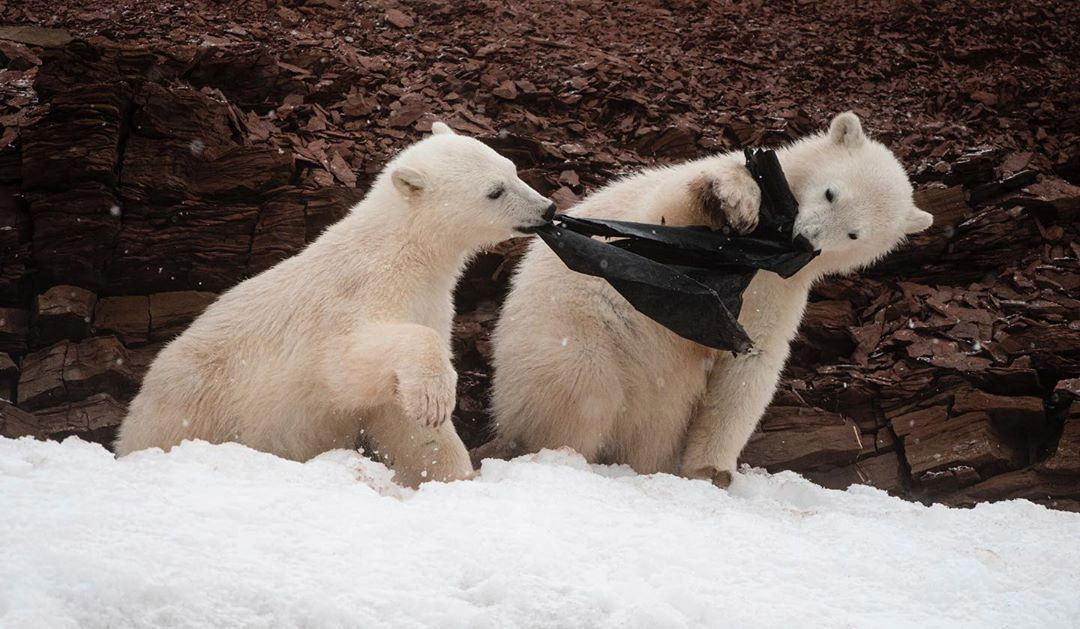Osos polares hambrientos