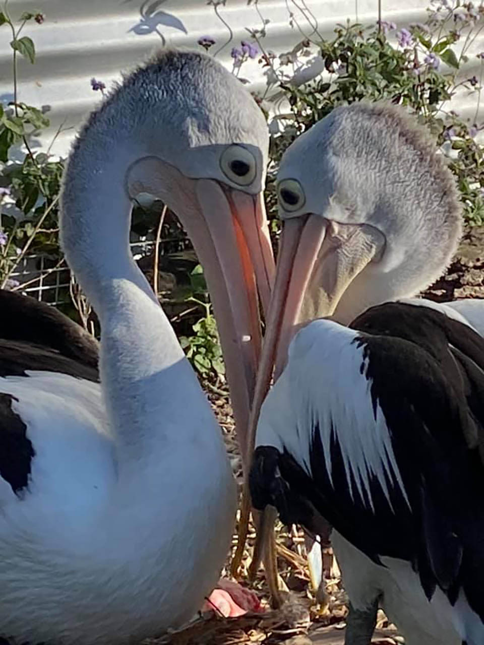 Pelícanos esperaron años por ver eclosionar un huevo