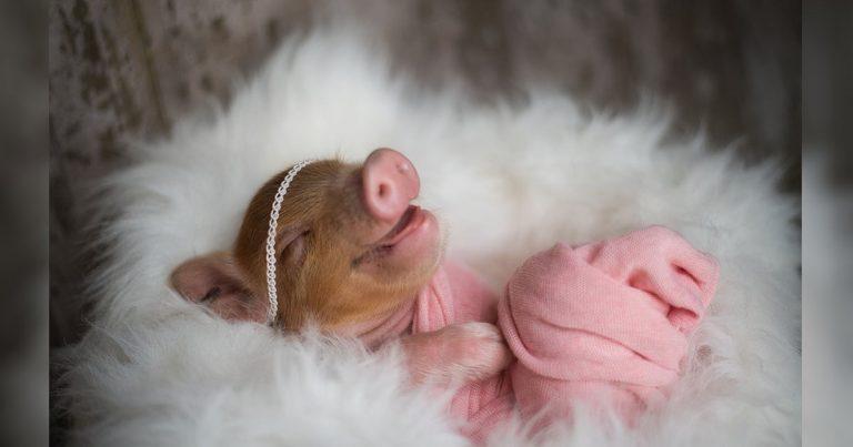 Pequeño cerdo obtiene la más adorable sesión de fotos de recién nacido