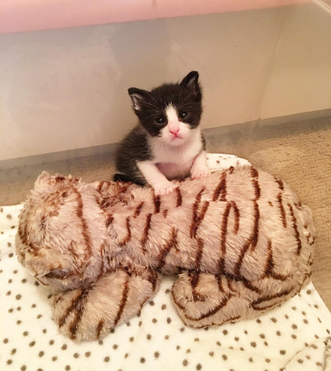 Pequeño gatito