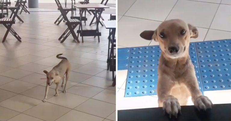 Adorable perrita sin hogar visita este café todos los días en Brasil