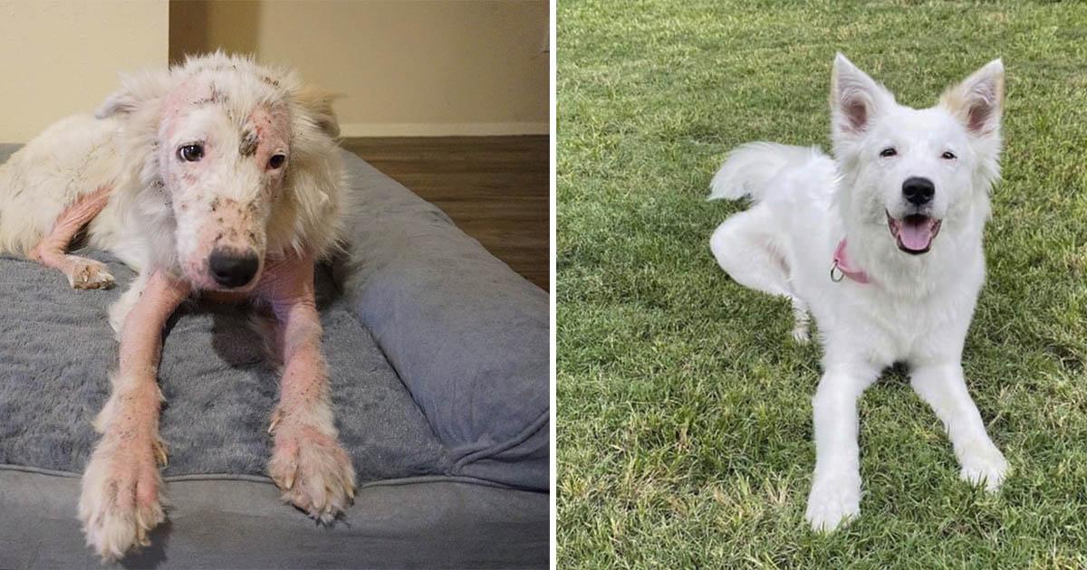 Perro sin pelo rescatado es tan blanco y esponjoso ahora