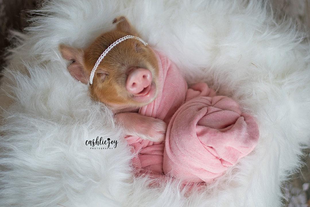 Pig foto sesion