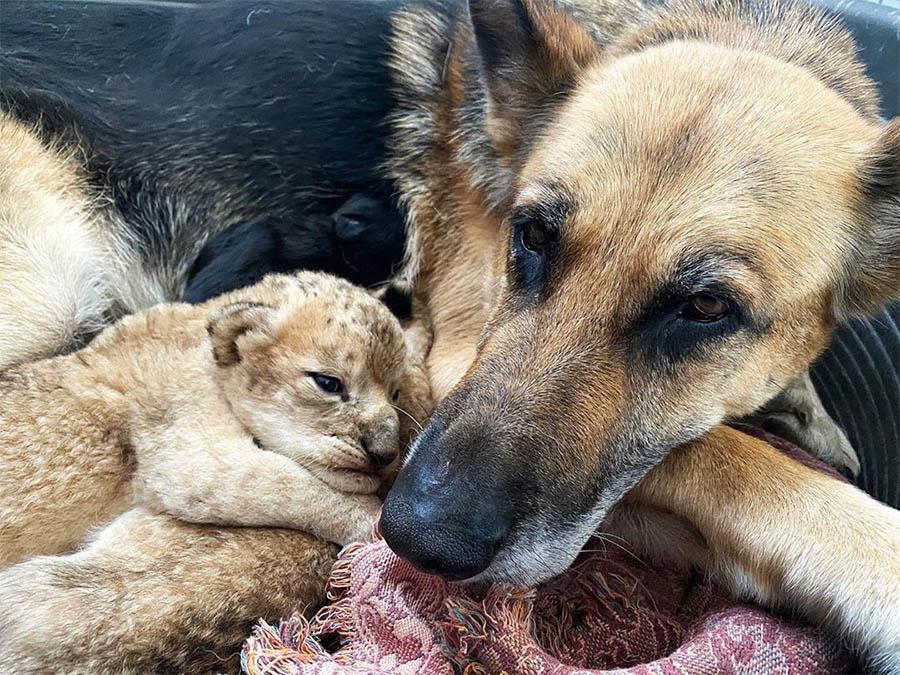 Sandra cuidando leones