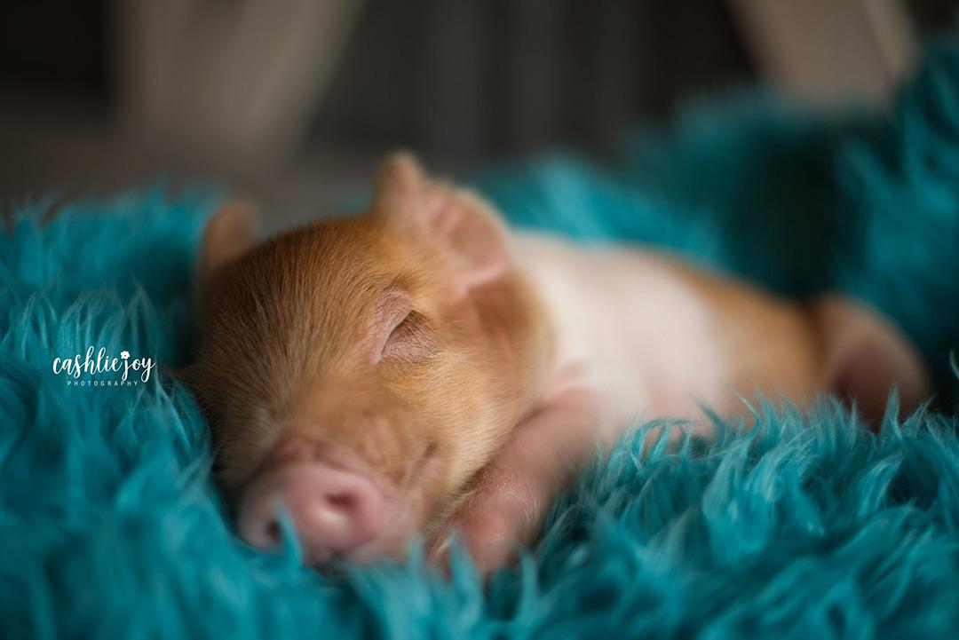 Sesion fotografica cerdo