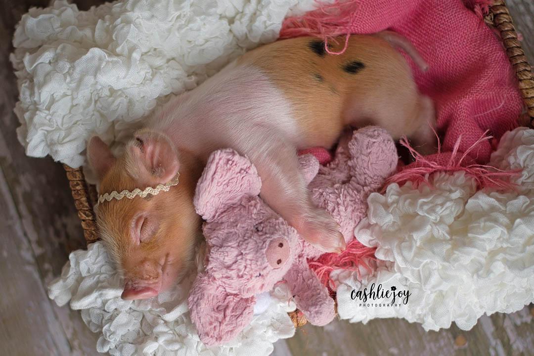 Sesion fotos cerdo