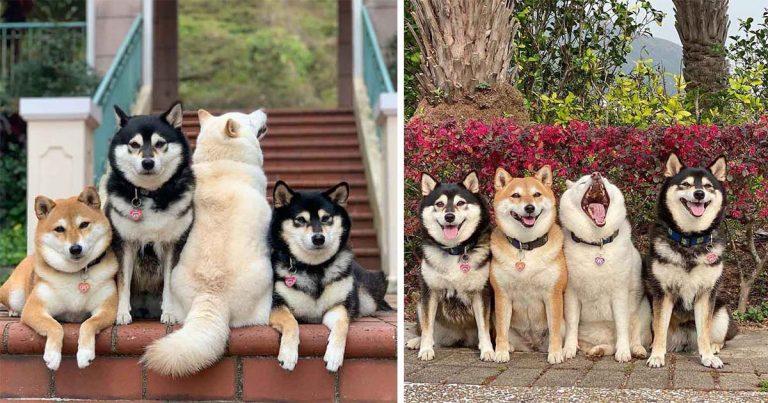Shiba Inu se vuelve viral por arruinar constantemente las fotos grupales junto a sus hermanos