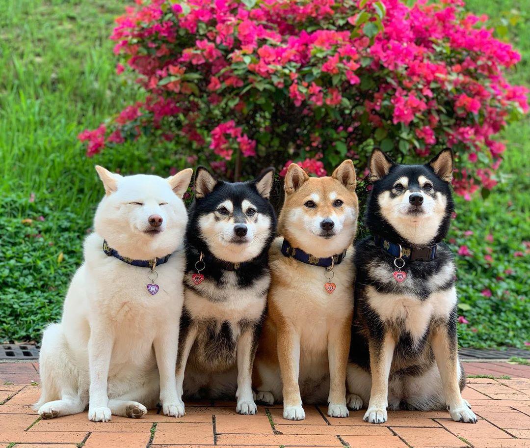 Shiba arruina foto grupal