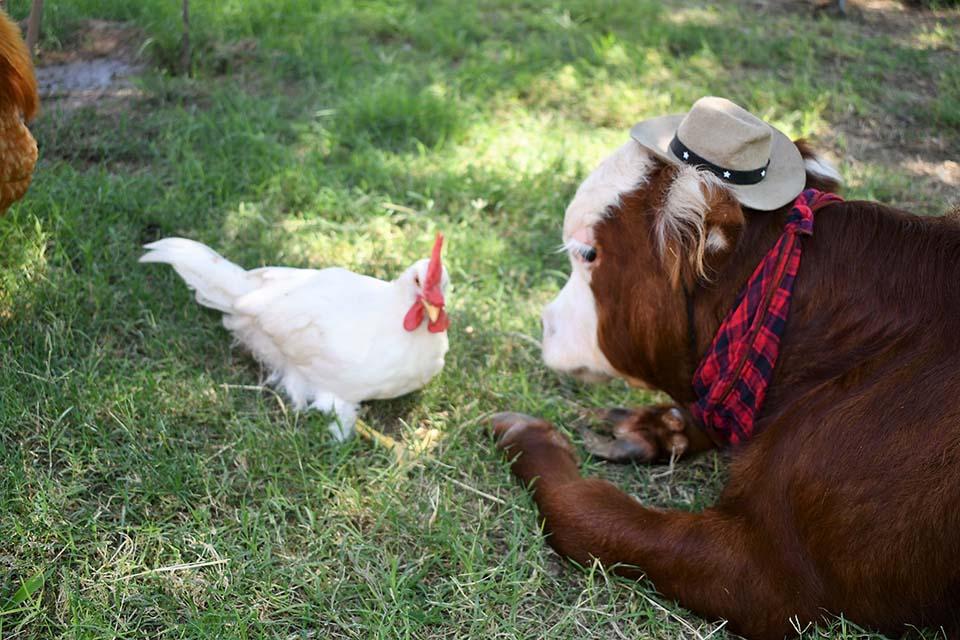 Ternero con sombrero junto a su amigo pollo