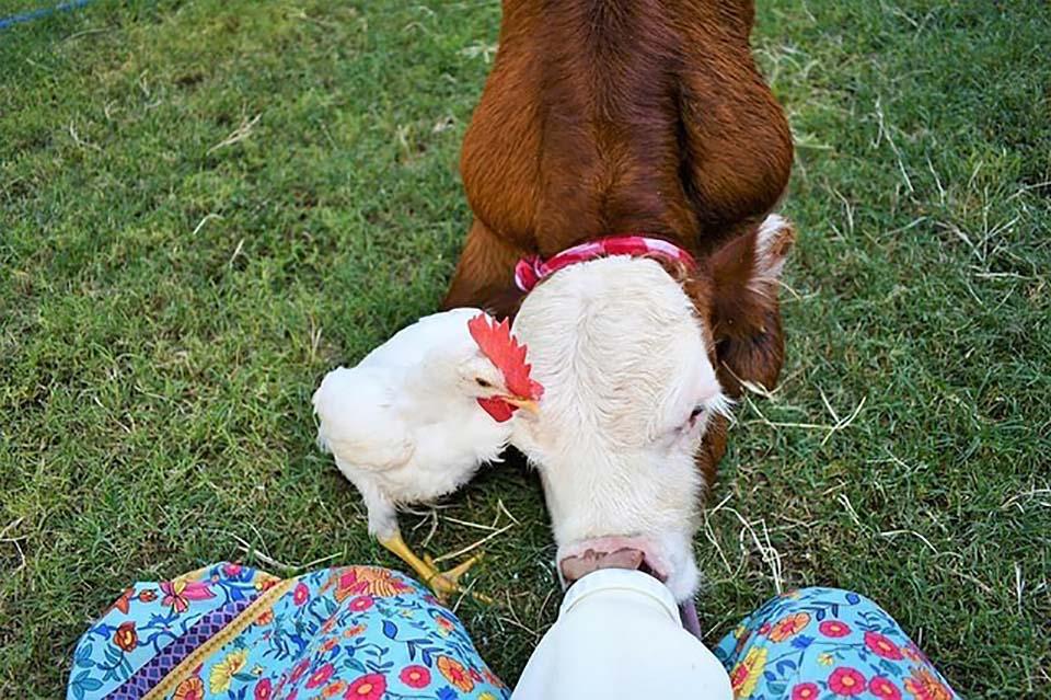 Ternero y gallina juntos