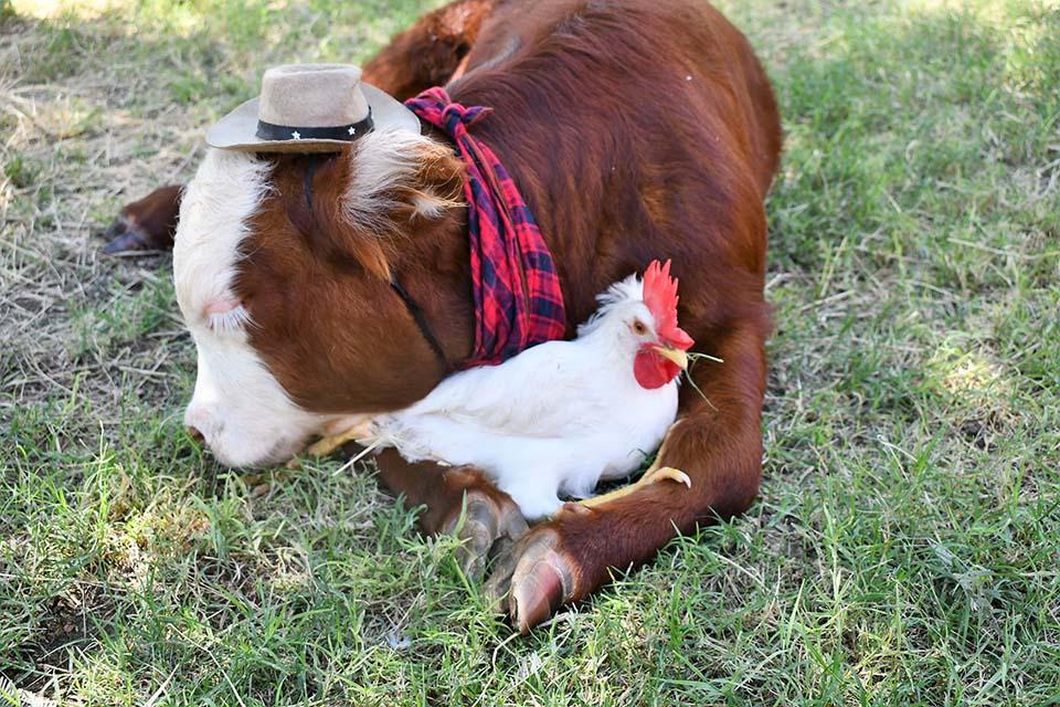 Ternero y su amiga gallina