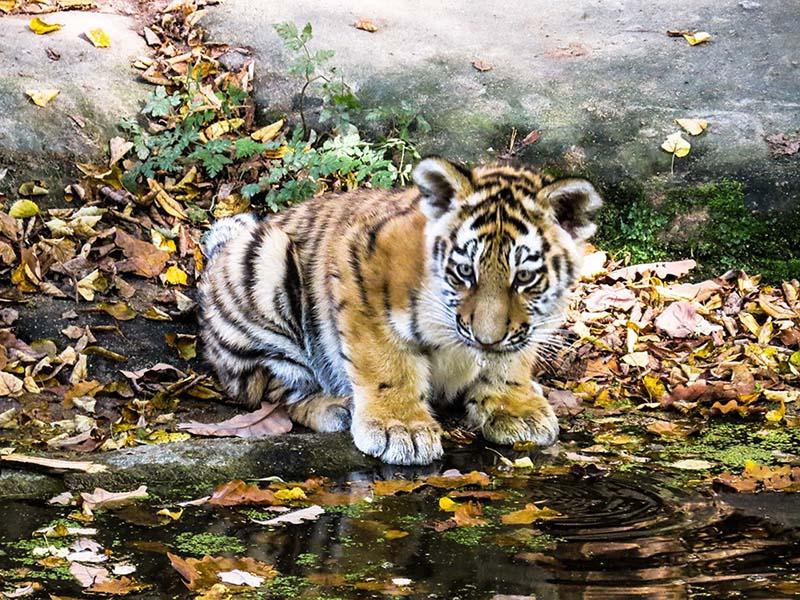 Tigre hermoso