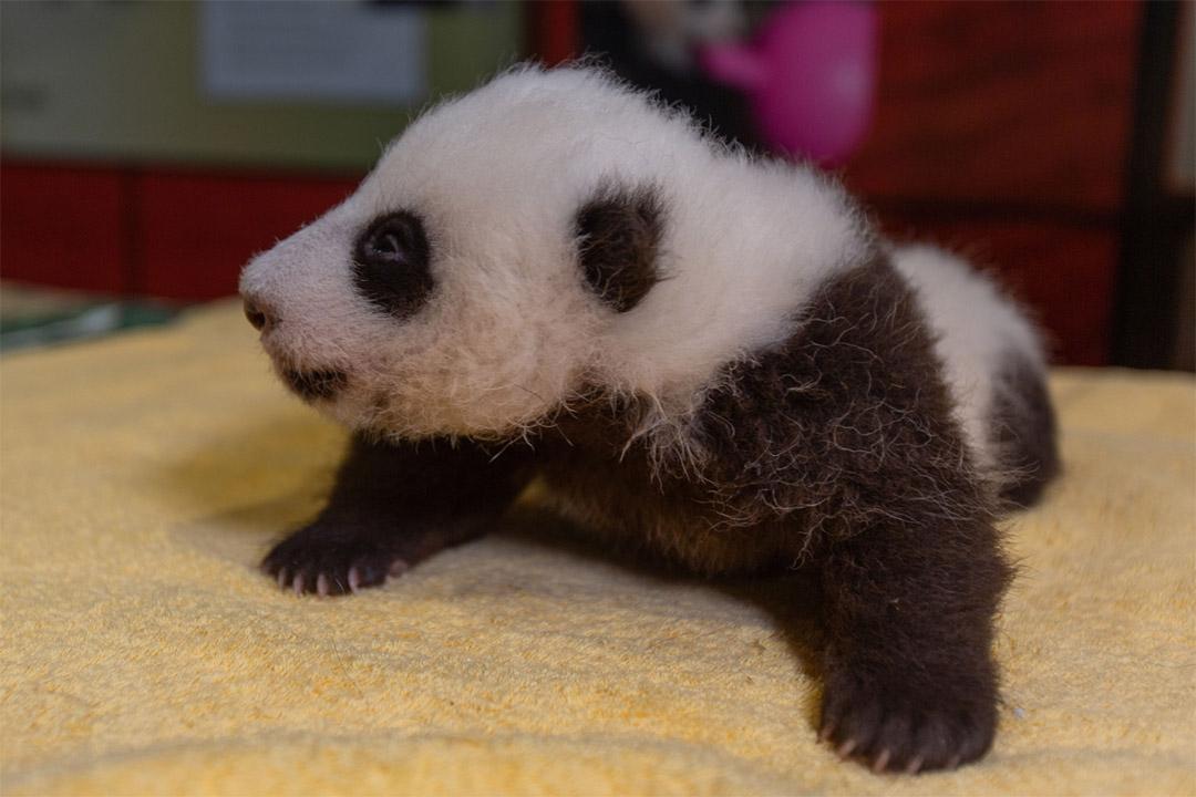 Adorable cachorro panda